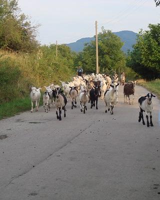 Troupeau de chèvres à Goumoshtnik