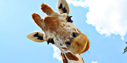 La girafe souriante