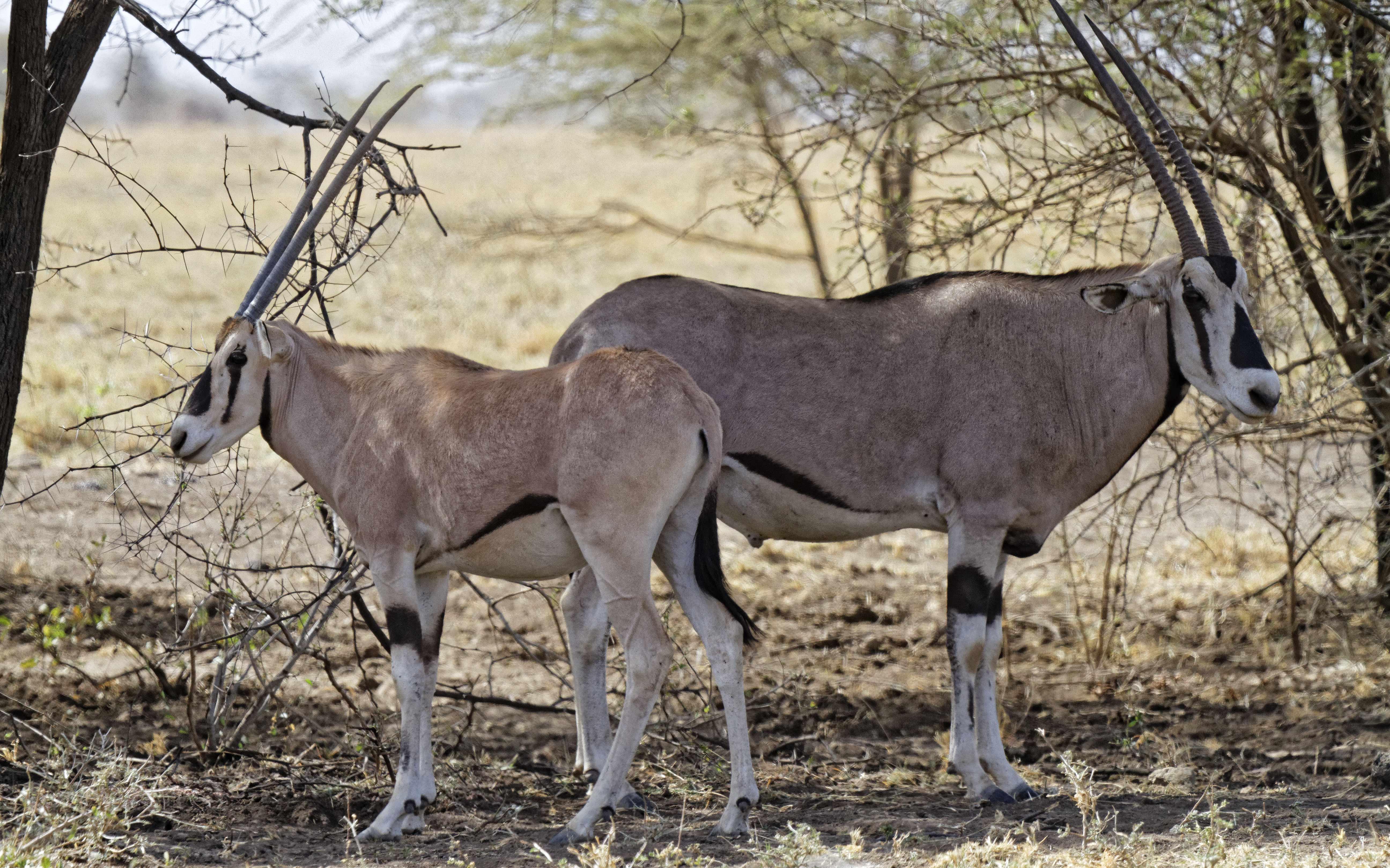Un couple d'ORYX dans le Parc National d'Awash, Ethiopie